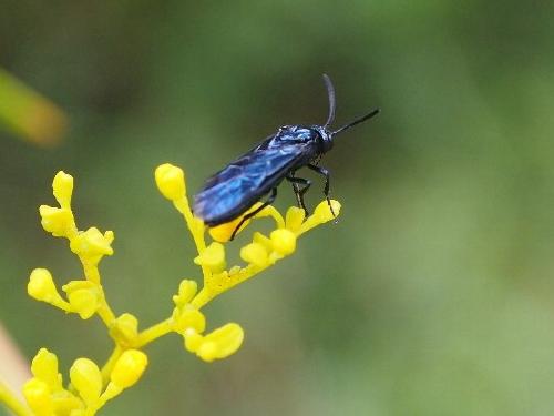 黄色い女郎花に来た青い虫