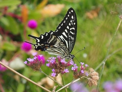 柳花笠と思われる花に留まって蜜を吸う揚羽蝶