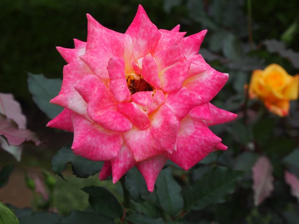 古河庭園の秋薔薇