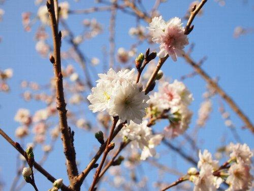 小福桜(こぶくざくら)