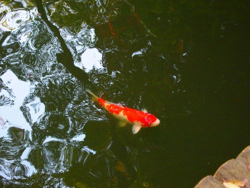 六義園の緋鯉