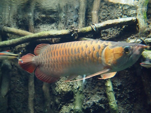 サンシャイン水族館のアジアアロワナ