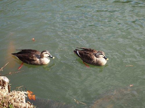 池に浮かぶ鳥