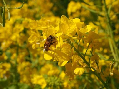 日比谷公園の菜の花の蜜を吸う蜜蜂