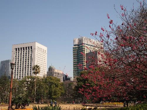 第一花壇越しに見るペニンシュラホテルと寒緋桜