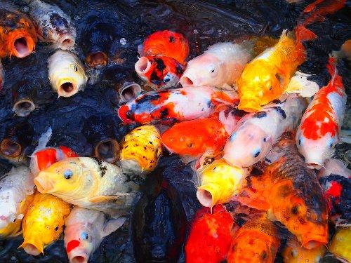 愛宕神社の緋鯉