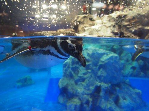 プールの角のペンギン