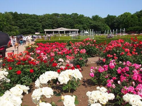 神代植物公園の薔薇園