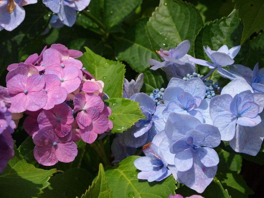 道すがらの紫陽花