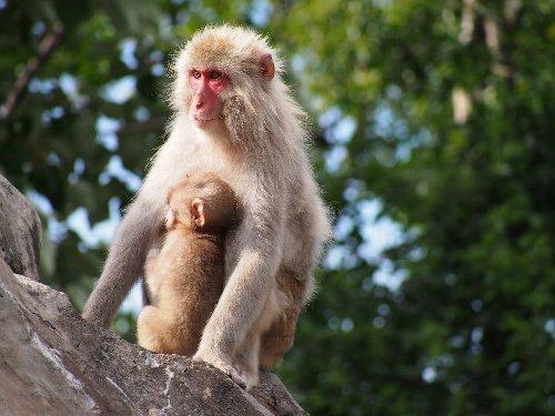 お母さんにしがみついている赤ちゃん猿