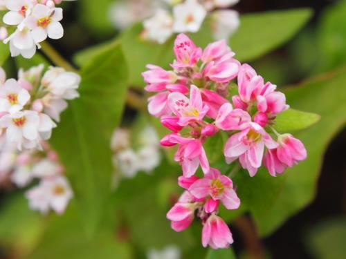 > 蕎麦のピンク色の花