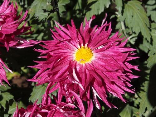 江戸菊花壇