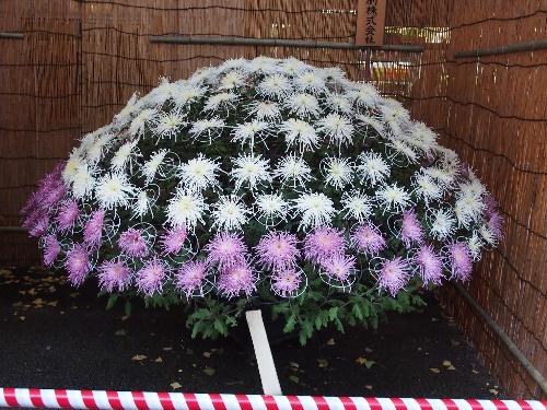 湯島天神の菊まつり・白色と紫色の菊の大作り
