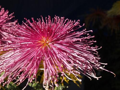 湯島天神の菊まつり・管物(管咲き)