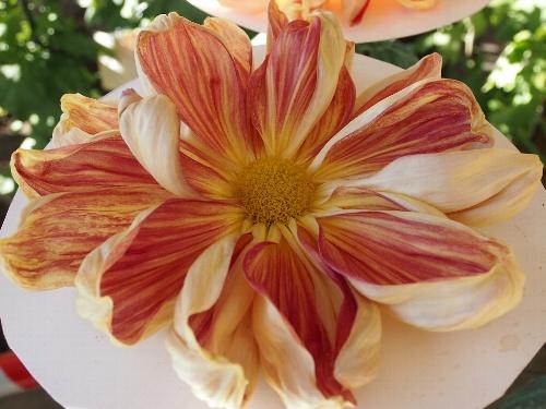 湯島天神の菊まつり