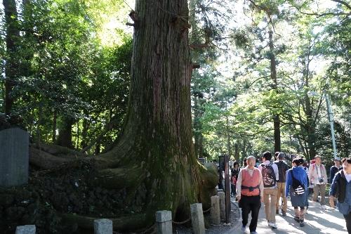 苔むした杉の大木、通称タコ杉