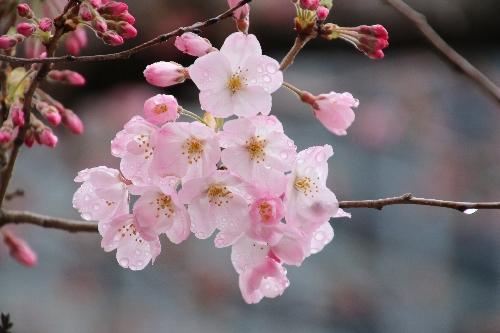 国立劇場の桜(神代曙)