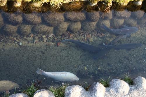 岐阜県の白川郷。道端の溝に大きな鯉