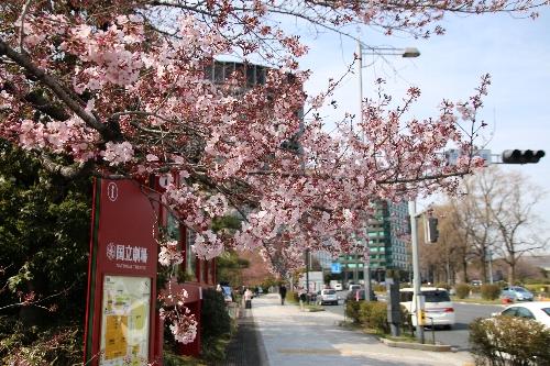 国立劇場(千代田区隼町)の桜