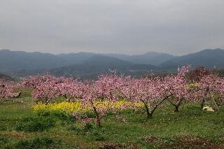 周林禅寺から見た桃の花と菜の花