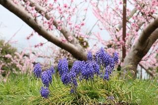 紫ルピナスと桃の花