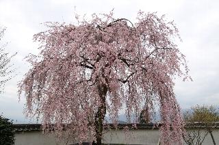 慈雲寺入り口の門の左手にある立派な枝垂れ桜