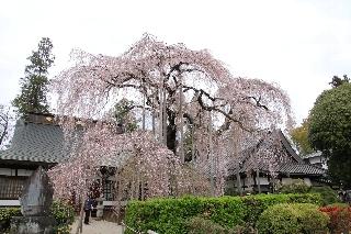 奥の本堂の前の「糸桜」