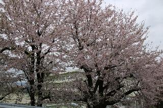 小学校の桜