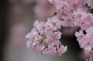 滝見山法正寺の立派な枝垂れ桜