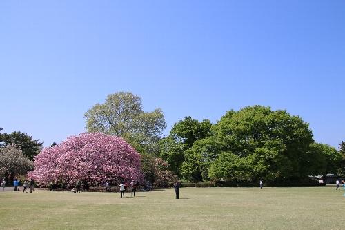 新宿御苑「関山」