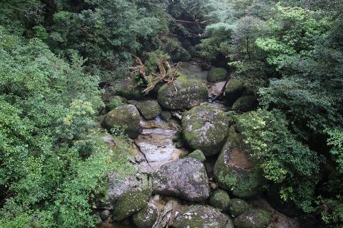 ヤクスギランドの杉