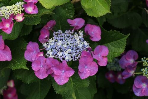 千尋の滝近くの紫陽花