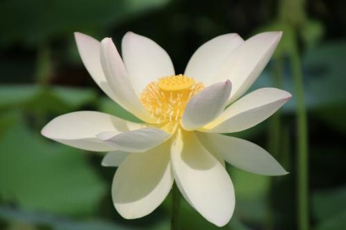 毛呂山の花蓮