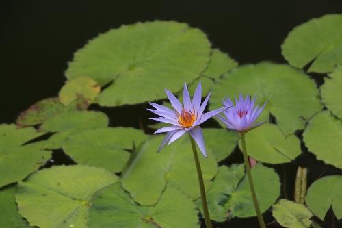 毛呂山の睡蓮