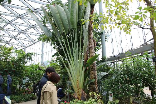 新宿御苑の大温室の中にある旅人の木