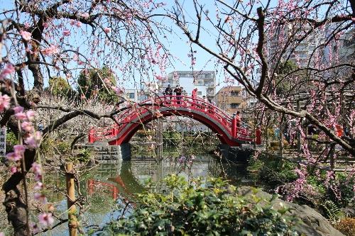 ピンク色の枝垂れ梅越しに、欄干が赤い太鼓橋