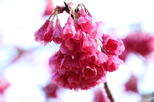 ピンク色が濃い寒緋桜