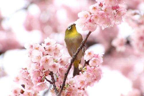 寒桜を啄むメジロ