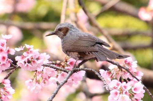 桜の木の上の方に、ヒヨドリがやってきた