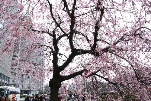 大手門の枝垂れ桜