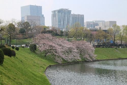 桜田濠に沿って緩いカーブの曲がり角のところで何本かの染井吉野が満開