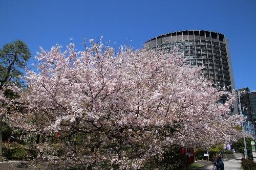 国立劇場前の神代曙桜