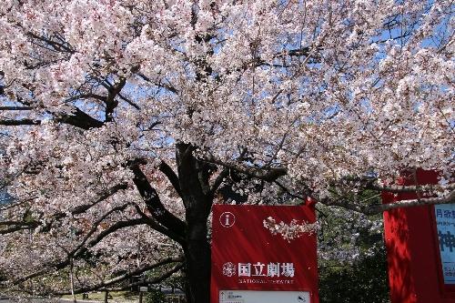 国立劇場前の小松乙女桜
