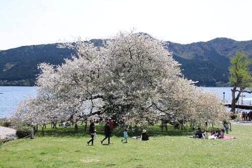 大きな大島桜