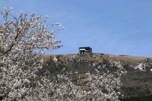 大きな大島桜越しに見える駒ケ岳ロープウェイ