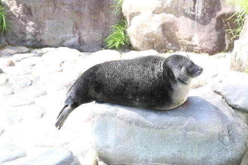 箱根園水族館でのアザラシ