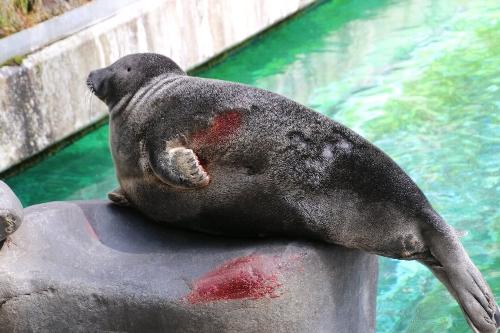 箱根園水族館で血を流しているアザラシ