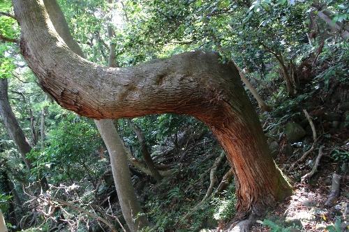 折れ曲がってまた真っ直ぐ伸びている杉の木