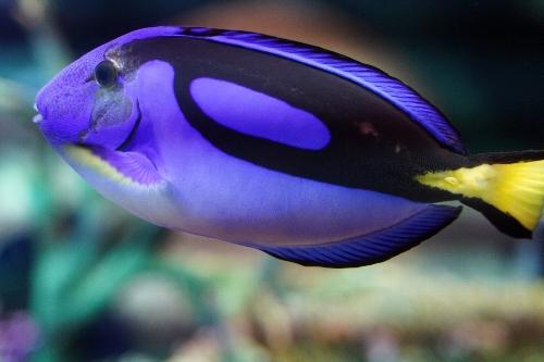 青い魚「ナンヨウハギ」