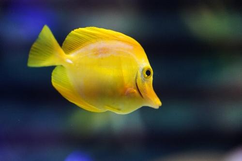 黄色い魚「キイロハギ」
